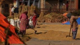 BHAKTAPUR, KATHMANDU, NEPAL - 18 October 2018 Aged asian women drying, sifting, threshing grains in traditional way stock video footage