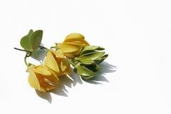 Bhandari黄色和绿色花在白色背景的 库存照片