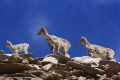 Bharal或喜马拉雅蓝色绵羊或者naur, seudois nayaur, Khardung村庄,查谟和克什米尔 库存照片
