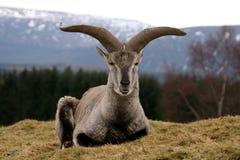 bharal蓝色喜马拉雅绵羊 库存图片