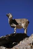 Bharal или голубое nayaur Pseudois овец Стоковые Фото