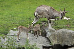 Bharal family Royalty Free Stock Image