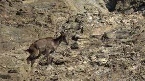 Bharal oder blaues Schafe oder naur Pseudois-Himalajanayaur stock footage