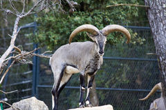 Bharal (Pseudois nayaur). Himalayan blue sheep in Montpellier Zoo stock images