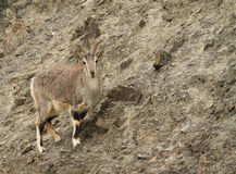 Bharal Pseudois nayaur Royalty Free Stock Images