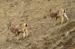 Bharals or blue sheep, Pseudois nayaur, in Rumbak Valley in Ladakh, India Royalty Free Stock Photos
