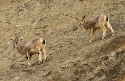 Bharals ou moutons bleus, nayaur de Pseudois, en vallée de Rumbak dans Ladakh, Inde Photos libres de droits