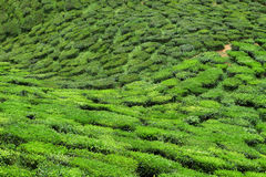 Bharat te valley. Bharat is the second largest tea producer in Cameron Highlands Royalty Free Stock Photo