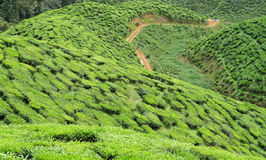 Bharat te valley. Bharat is the second largest tea producer in Cameron Highlands Royalty Free Stock Images