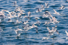 bhe seagulls θάλασσας στοκ φωτογραφία με δικαίωμα ελεύθερης χρήσης