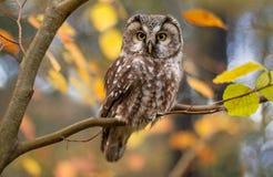 Búho boreal en hojas de otoño Imagen de archivo libre de regalías