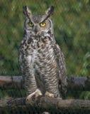 Búho de Eagle con los ojos de la perforación Imagen de archivo libre de regalías