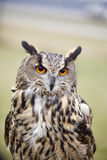 Búho de águila de Eagle Owl Fotos de archivo
