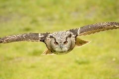 Búho de águila del vuelo Fotografía de archivo libre de regalías