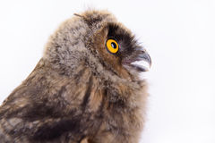 Búho del pájaro aislado Foto de archivo