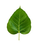 Bhodi Leaves (isolation) Stock Photo