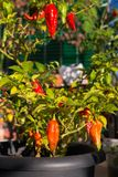 Bhut Jolokia chili pepper, one of the hottest pepper in the world. Home made gardening, organic food, selective focus. Bhut Jolokia chili pepper, one of the Stock Photos