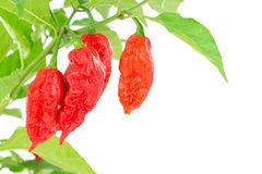 Bhut Jolokia - Chilli snake Stock Photography