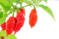 Bhut Jolokia - Chilli snake Royalty Free Stock Photography