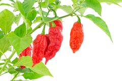 Bhut Jolokia - Chilli snake Royalty Free Stock Photo