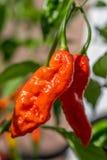 Bhut Jolokia. Fruit on the plant Stock Image