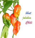 Bhut jolokia pepper Stock Image