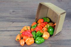 Bhut jolokia pepper Royalty Free Stock Images