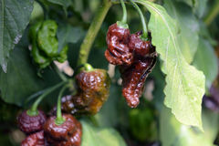 Bhut Jolokia Peppers Stock Image