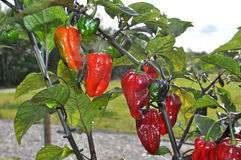 Bhut Neyde Jalokia Peppers. Growing in the garden. Also called Ghost Peppers Stock Image