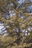 Bhutan pijnboom Stock Afbeeldingen