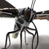 Bhutanitis Lidderdalii of Bhutan Glory Butterfly Swallowtail met Bont op Witte 3D Illustratie wordt geïsoleerd die Als achtergron stock fotografie