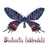 Bhutanitislidderdalii, de Bhutan glorie, hand geschilderde waterverfillustratie met inschrijving stock illustratie
