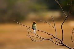 BiÄtare-fågel tillbaka sida royaltyfri bild