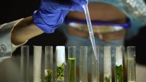 Biólogo que añade el nitrógeno en tubos con las plantas verdes, experimento de la preservación metrajes