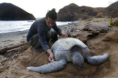 Biólogo que trabaja con la tortuga de mar verde pacífica Foto de archivo libre de regalías
