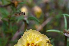 Bi över en blomma Royaltyfri Fotografi