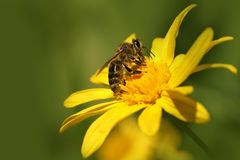 Bi & x28; Apis& x29; på blomman Dahlia Garden & x28; Dahlia Cav & x29; Royaltyfri Bild