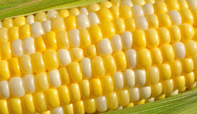 Bi-Color Corn on the Cob Royalty Free Stock Images