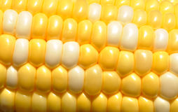 Bi-Color Corn on the Cob Stock Photos