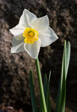 Bi-color Daffodil Royalty Free Stock Images