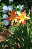 Bi-color Daylilies in full Bloom on a Beautiful Summer Day Stock Photos