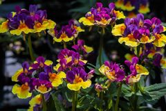 Bi-color Nemesia flowering plant. Stock Photo
