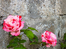 Bi-color Roses Against a Garden Wall Royalty Free Stock Image