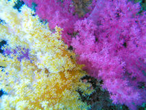 Bi color soft coral. Yellow and purple Soft coral Stock Image