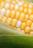 Bi Color Sweet Corn and Husk Royalty Free Stock Photography