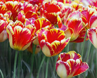 Bi-color Tulip Garden Stock Image