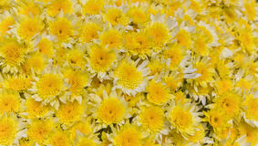 Bi-Color Yellow and White Mums Royalty Free Stock Photography