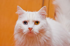 Bi-colored eye white cat stock photography
