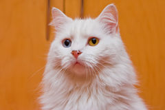 Bi-colored eye white cat. A portrait of a bi-colored eye (blue and yellow) medium long haired white cat, like a Persian or RagaMuffin breed royalty free stock photos