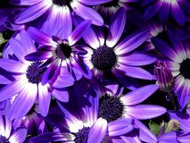 Bi-Colored Purple Senetti Daisies Royalty Free Stock Photography